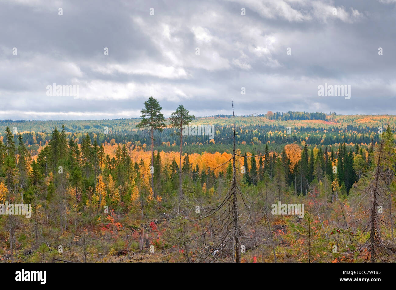 Taiga (boreal forest) in Komi region, northern Russia. - Stock Image