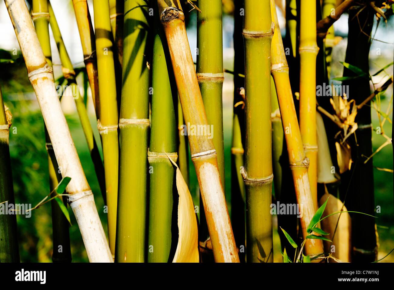 Bamboo In Garden   Stock Image