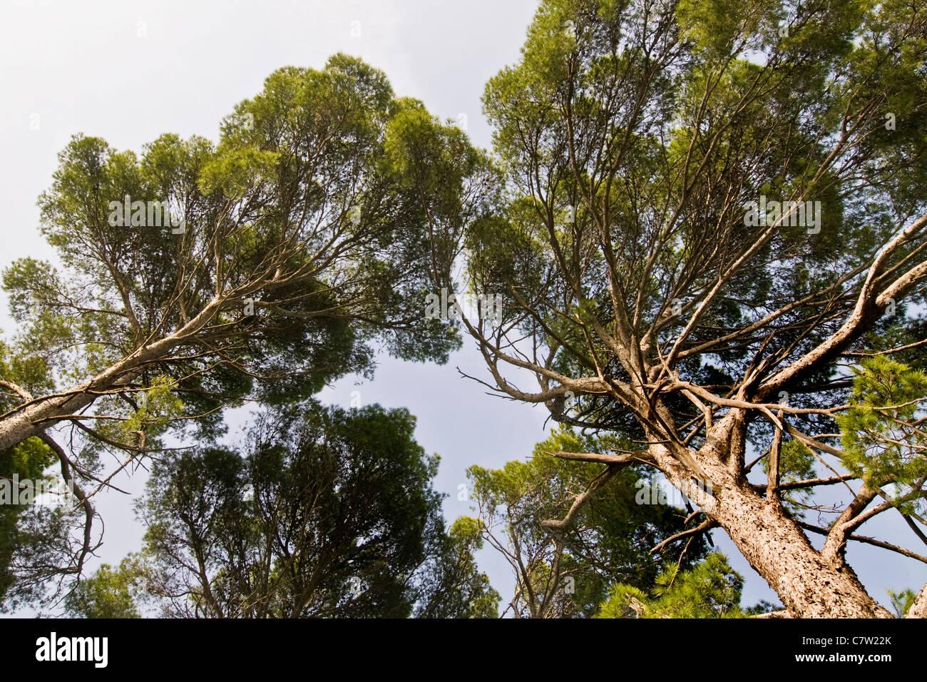 Maritime pines - Stock Image