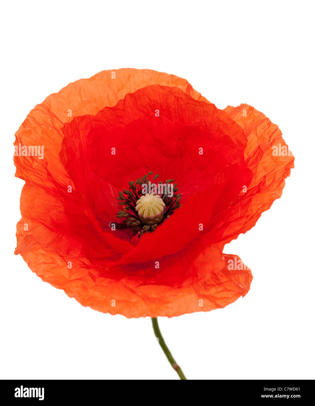 red single poppy with stem on white background - Stock Image