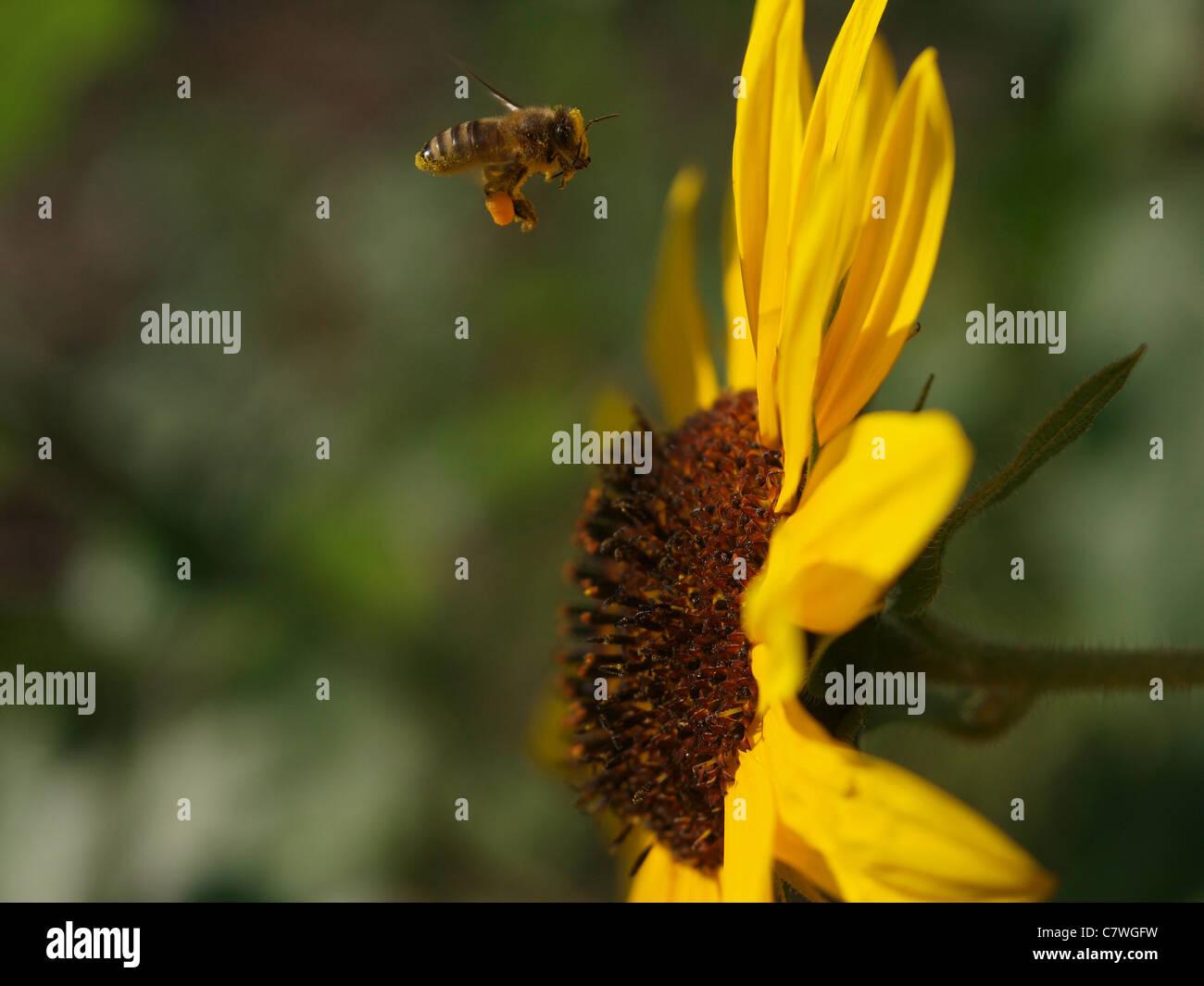 American Honeybee (Apis mellifera) - Stock Image