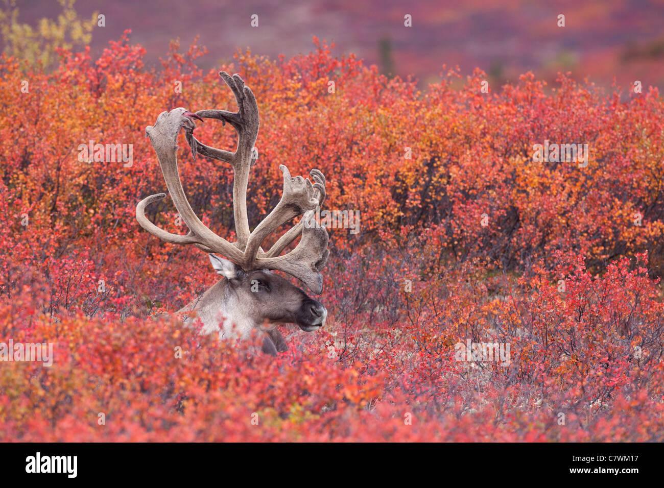 Bull caribou, Denali National Park, Alaska. - Stock Image