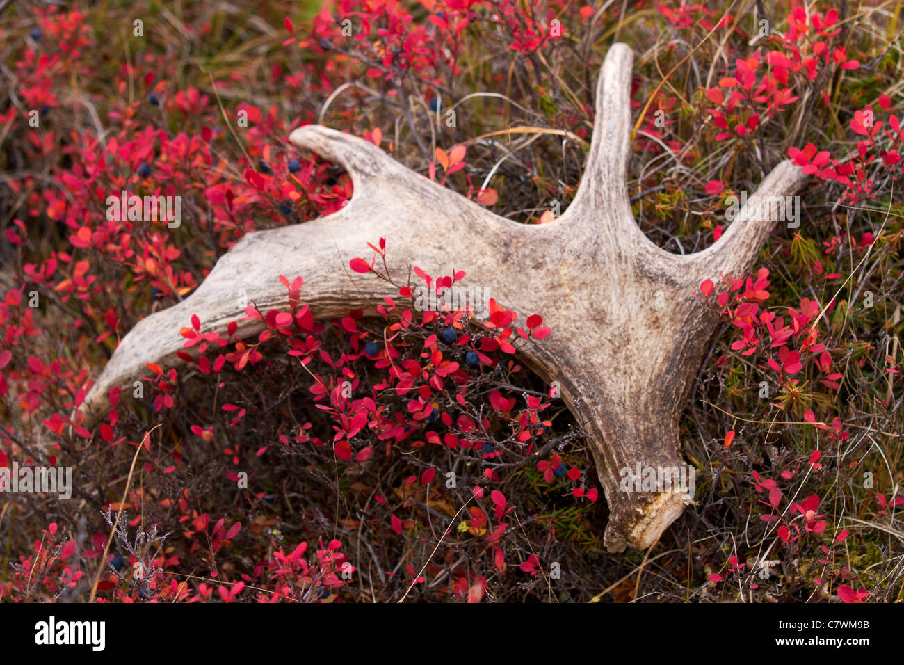 Moose antler, Denali National Park, Alaska. - Stock Image