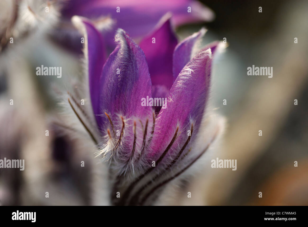 Close-up image of a Pulsatilla Halleri in spring time. Stock Photo