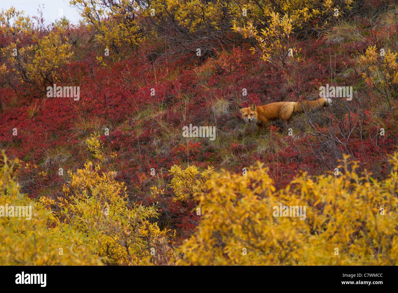Red fox, Denali National Park, Alaska. - Stock Image