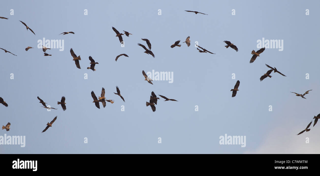Black Kites Milvus migrans soaring on thermals over Tarifa Spain on migration to Africa September - Stock Image