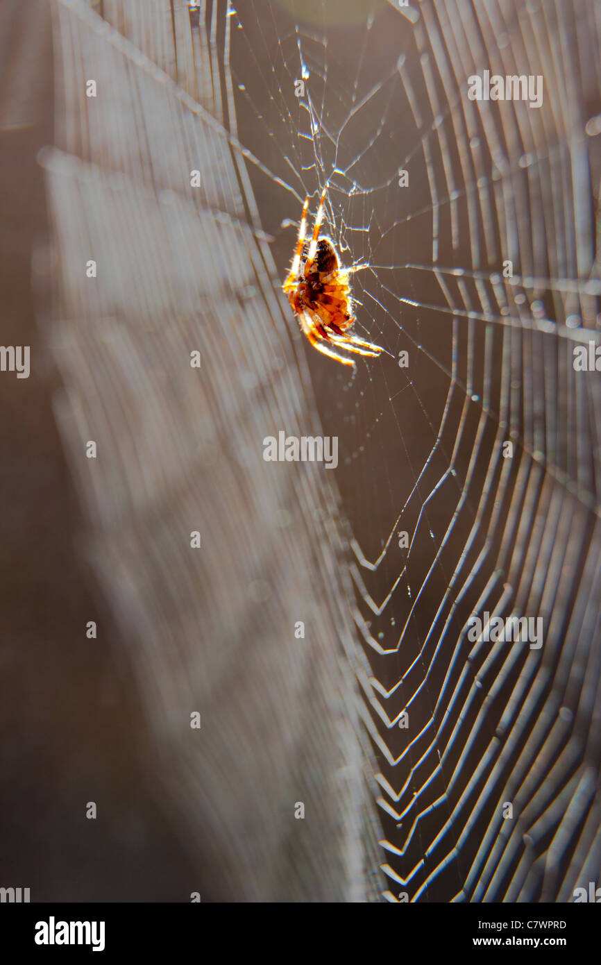 Spider in it's web - Stock Image