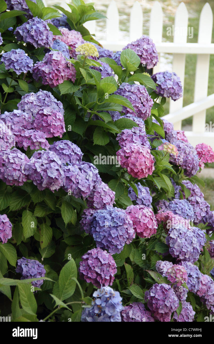 purple Hydrangeas in bloom summer cluster of flowers - Stock Image