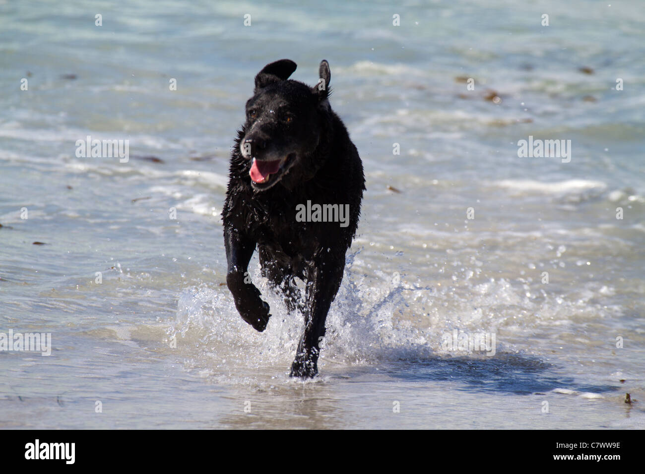 A black lab running n the water on Carmel Beach in Carmel by the Sea, California, USA - Stock Image