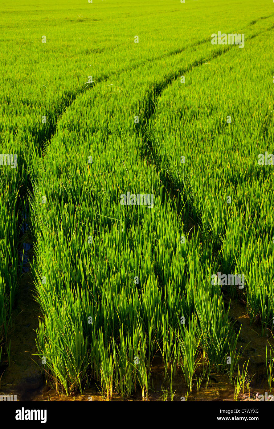 green grass rice field in Spain with tractor wheels footprint Stock Photo