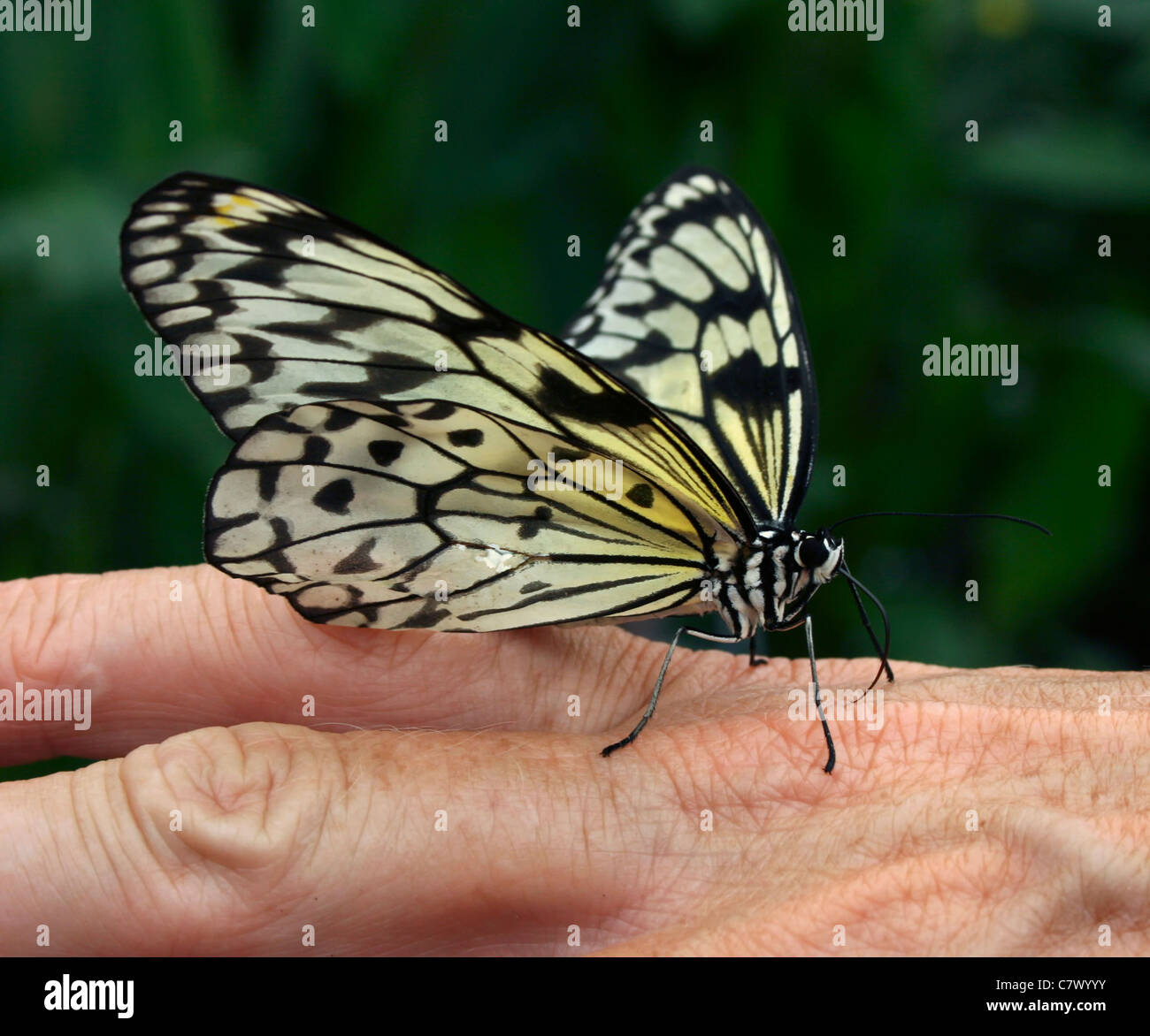 The Paper Kite, Rice Paper, or Large Tree Nymph butterfly. Benalmadena Butterfly Park, Malaga, Spain. - Stock Image