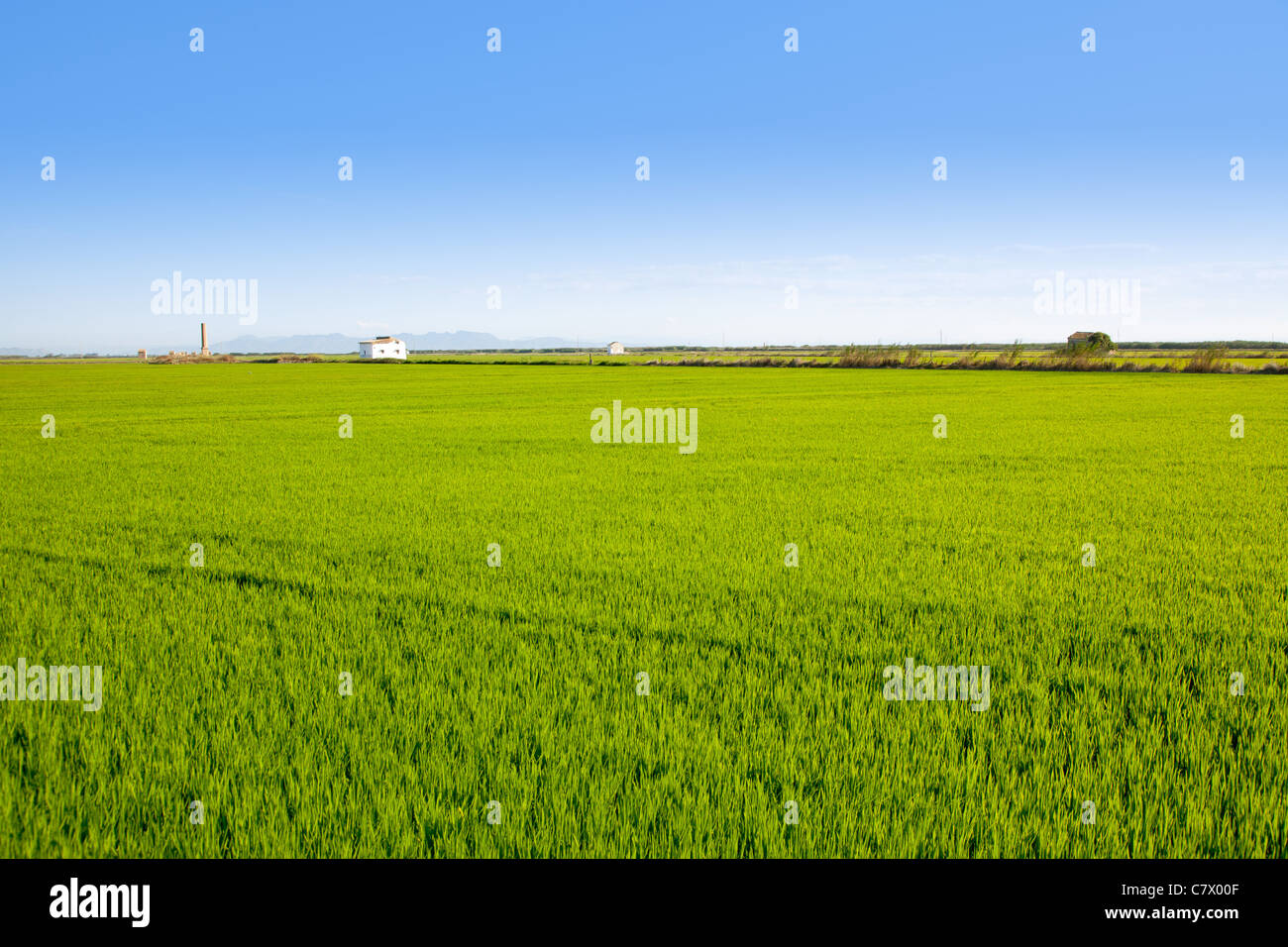 green grass rice field in Valencia El Saler Spain Stock Photo