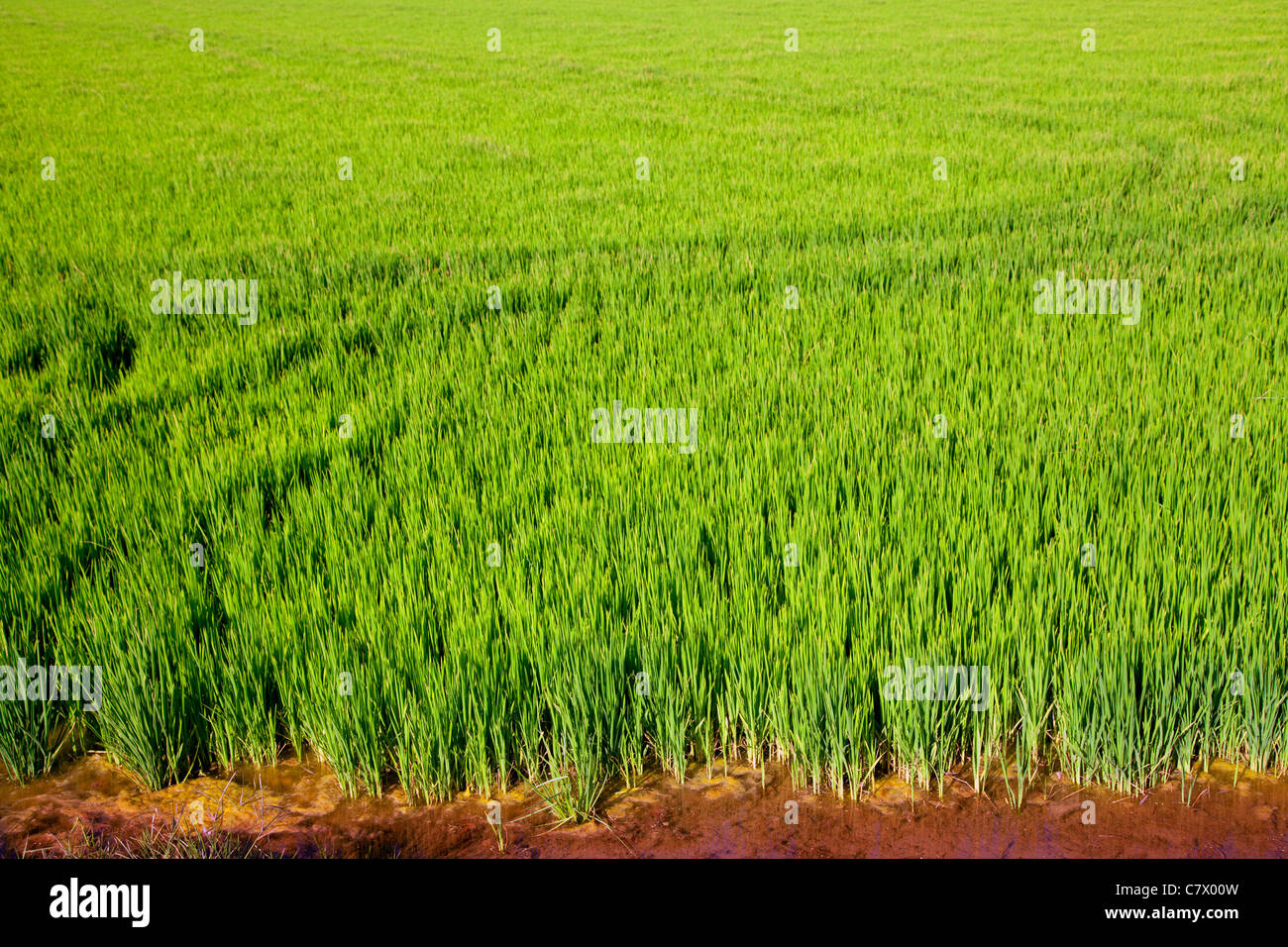 green grass rice cereal field in Valencia Spain Stock Photo