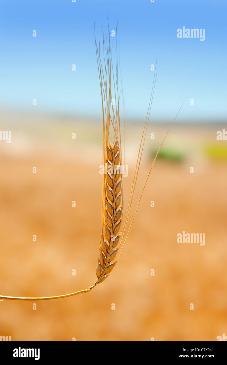 alone cereal spike in wheat golden field - Stock Image