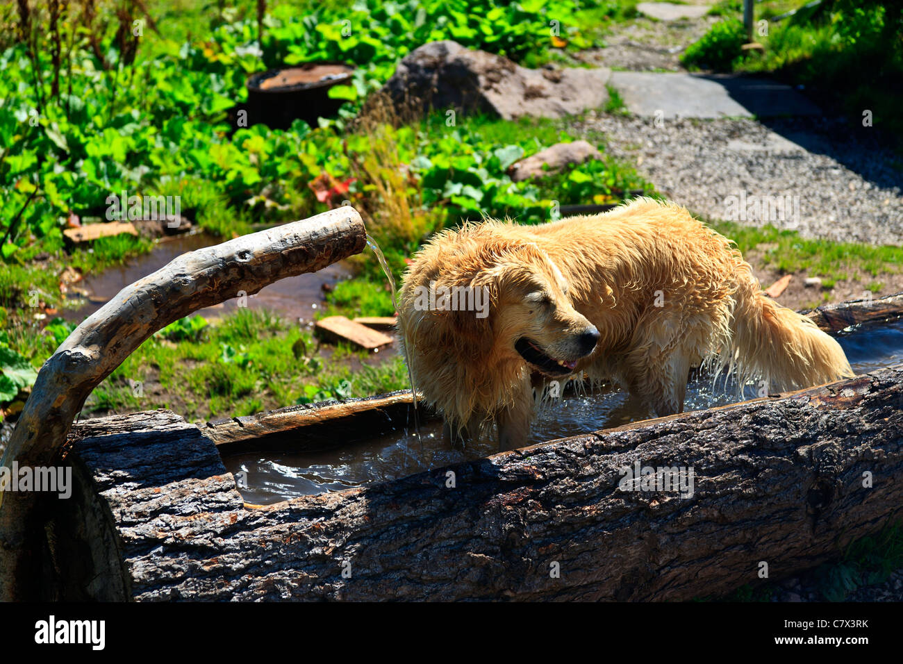 Dog in water trough cooling down on hot day - Stock Image