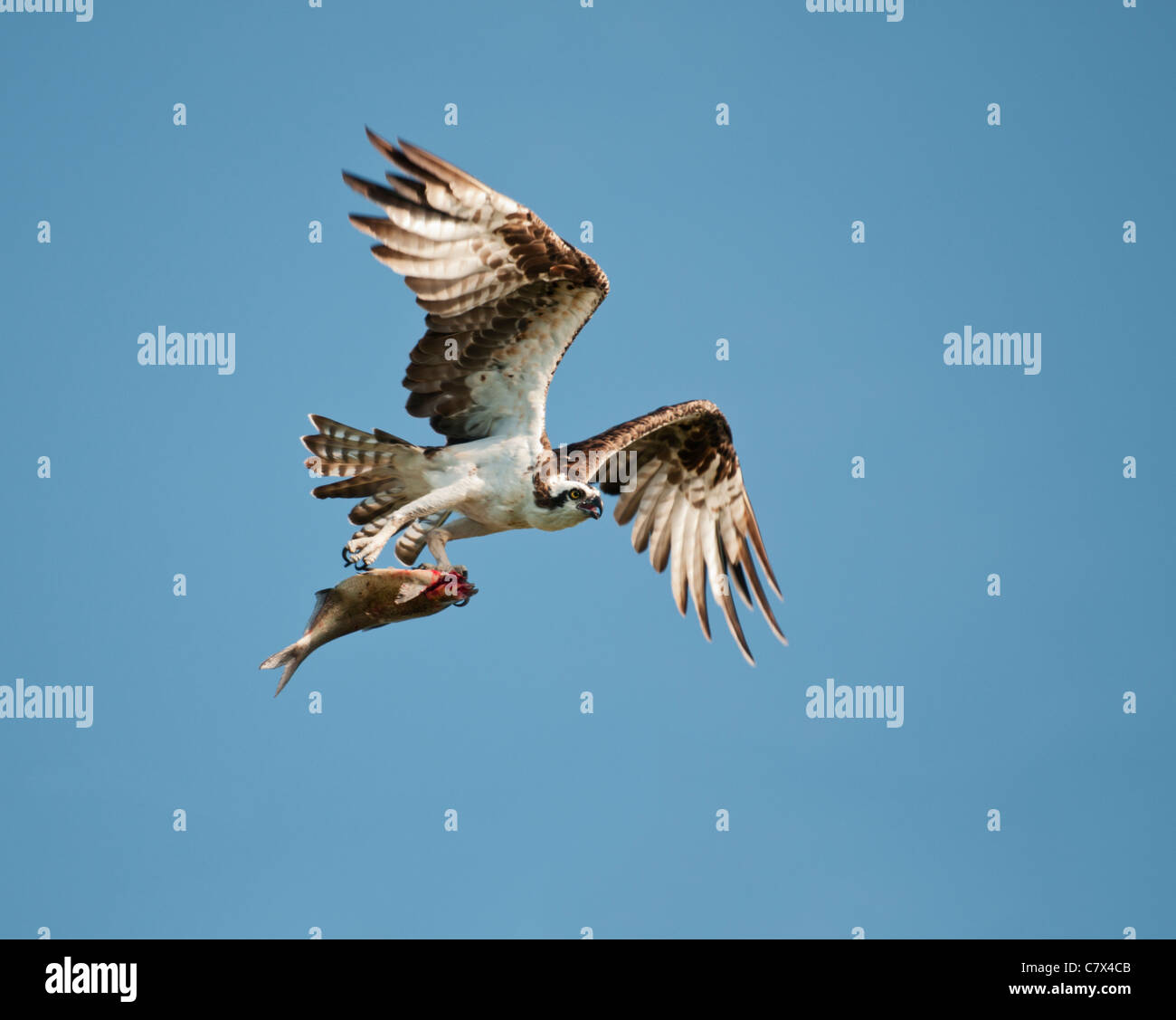 Florida Osprey and his fresh fish catch on the Haines Creek River in Lake County Leesburg, Florida Stock Photo