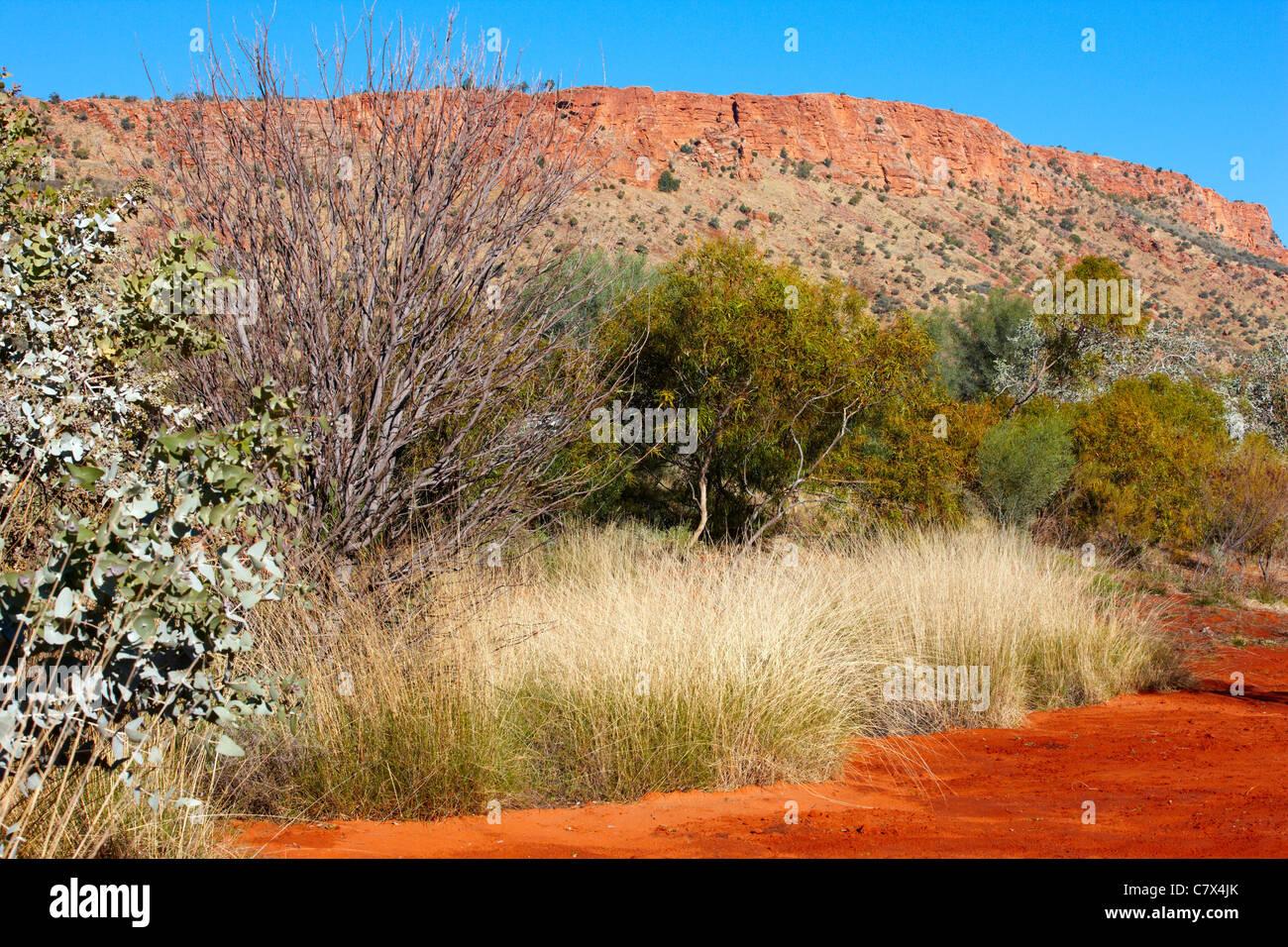 Spinifex grass, Alice Springs Desert Park, Australia - Stock Image