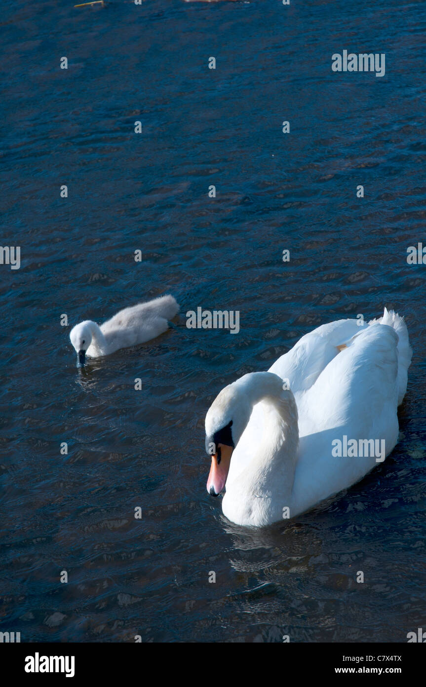 Mute Swan and Signet on River Esk - Stock Image