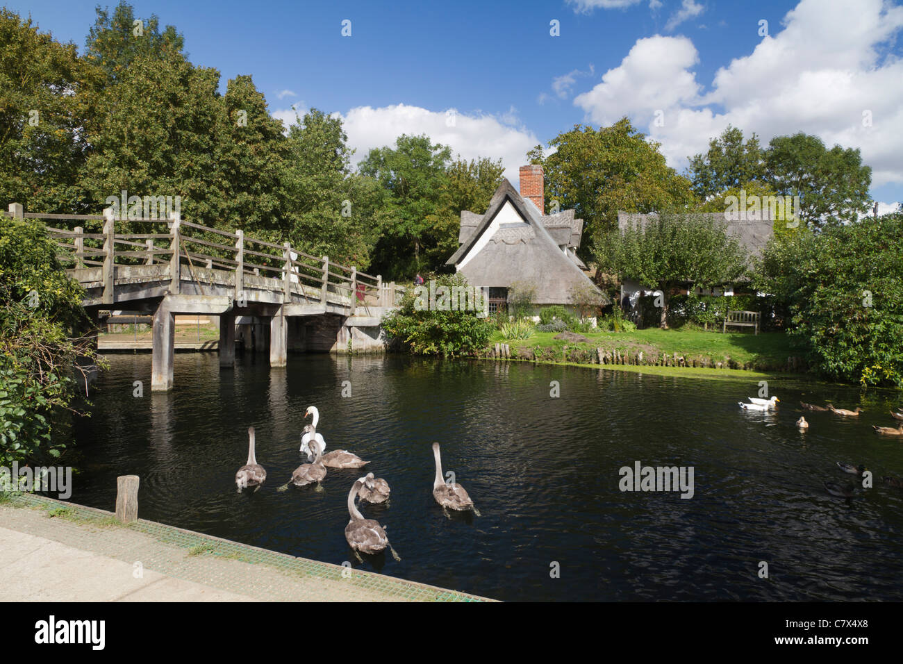Swans and cygnets on River Stour by bridge in Flatford, Essex, UK Stock Photo
