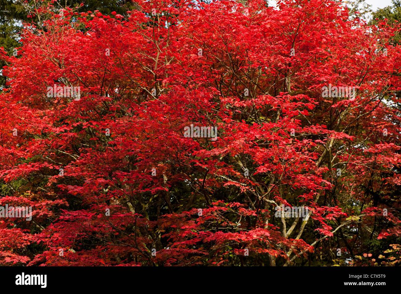 Acer Japonicum Vitifolium Vine Leaved Full Moon Maple In Early