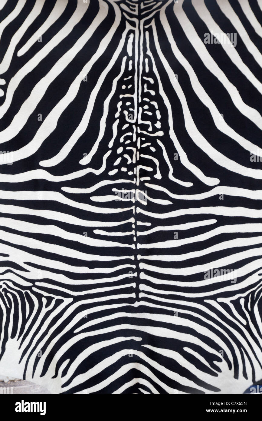 Zebra leather skin texture painted from a cow - Stock Image