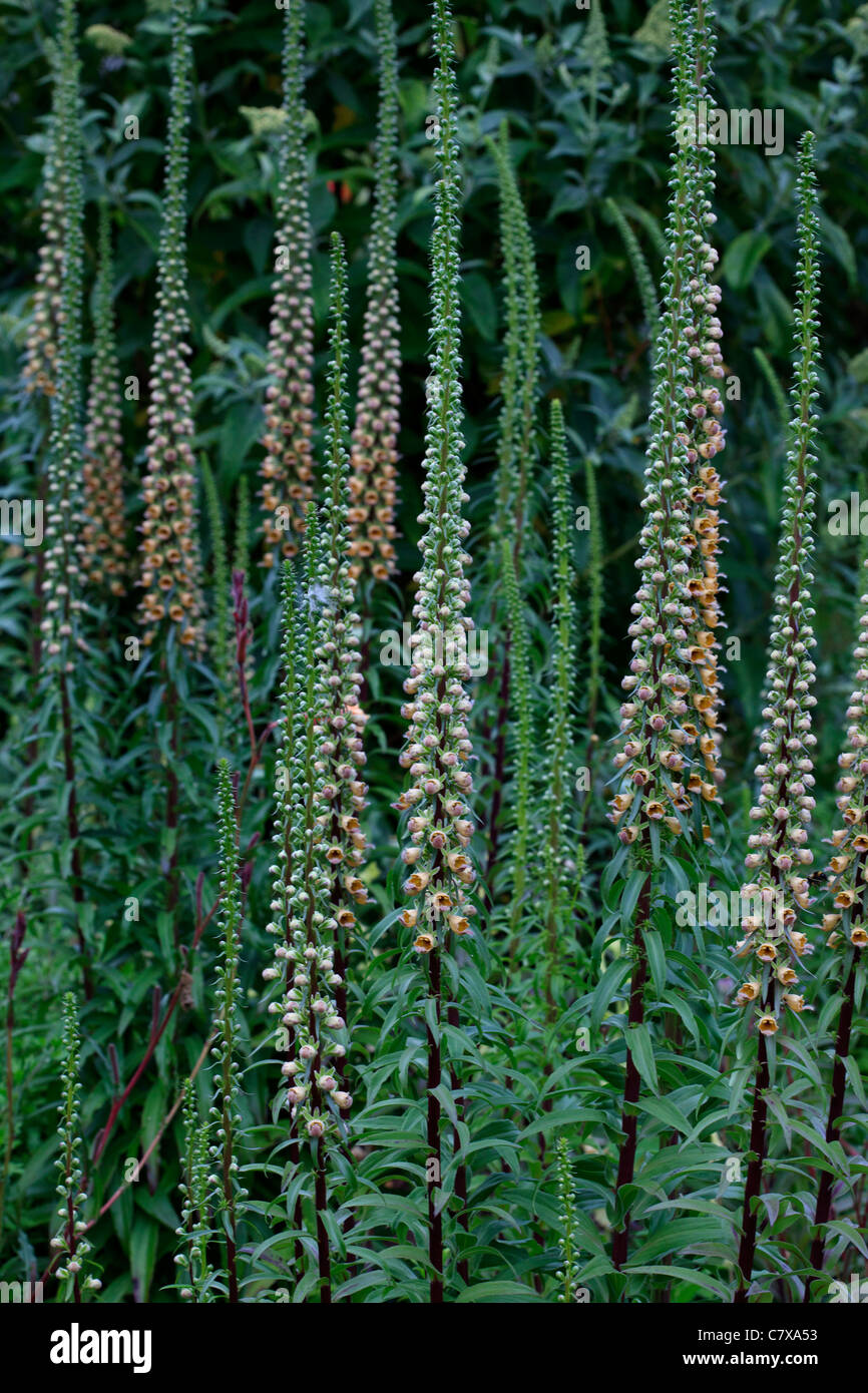 Digitalis Ferruginea syn 'Rusty foxglove' - Stock Image