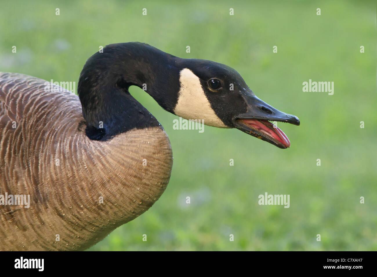 Honking Canada Goose - Stock Image