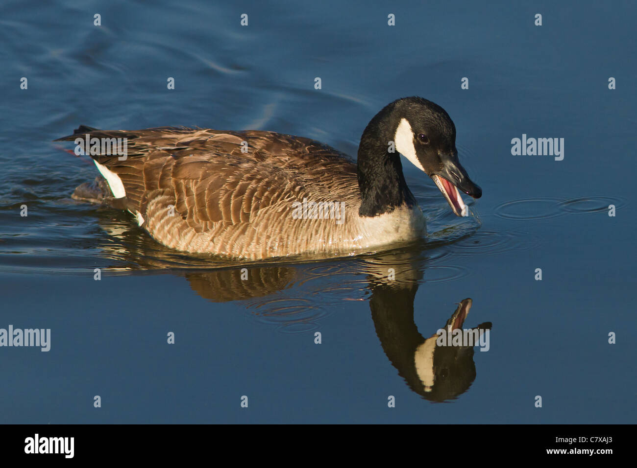 Honking Canada Goose swimming in river with beautiful reflection - Stock Image
