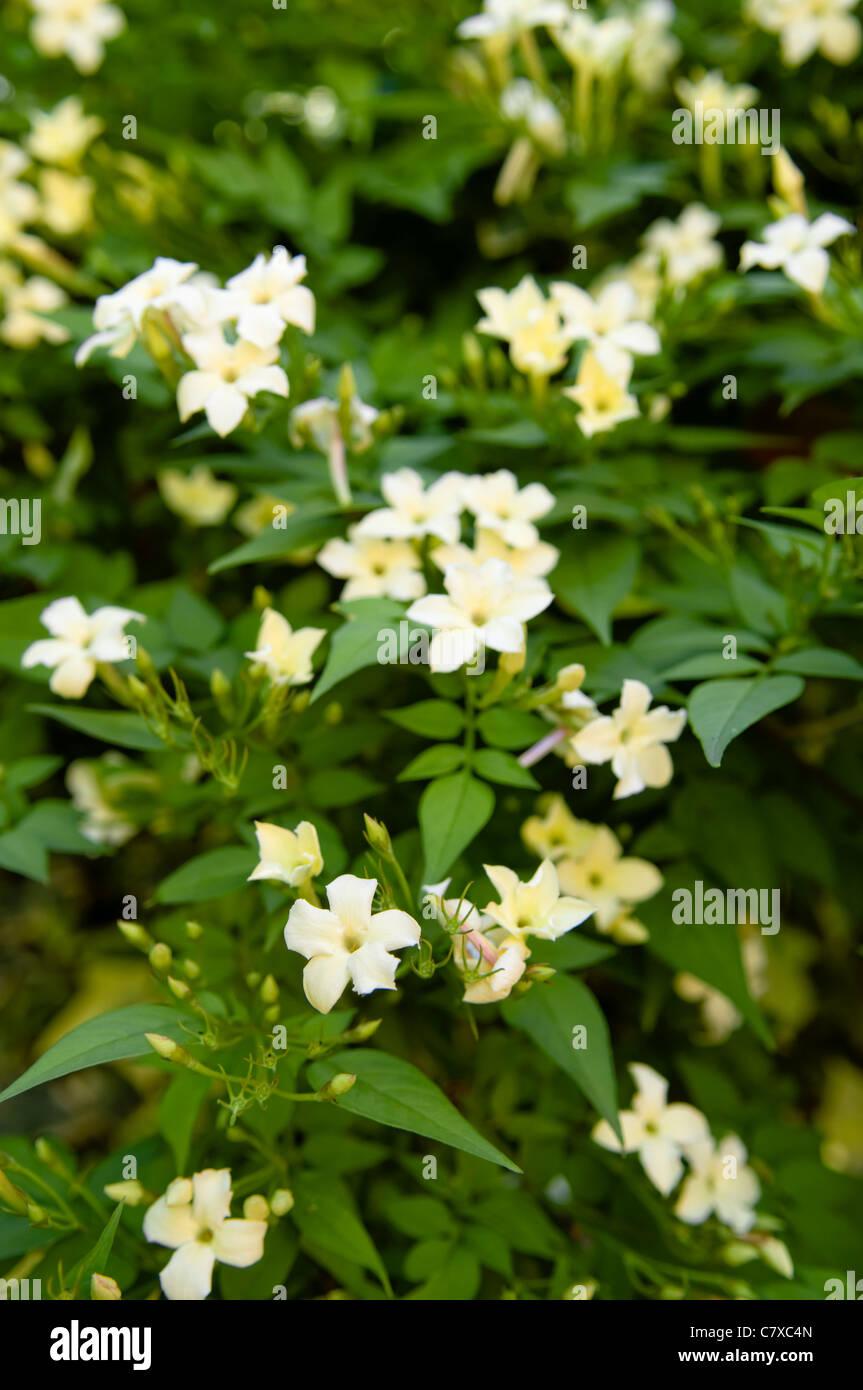 Yellow flowering jasmine shrub taken in summer - Stock Image