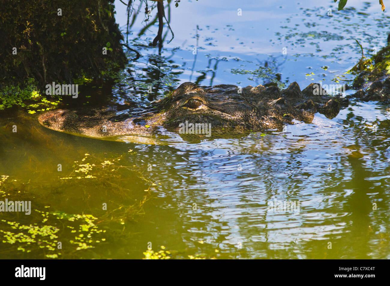 Lurking alligator at Greenfield Lake in Wilmington, North Carolina - Stock Image