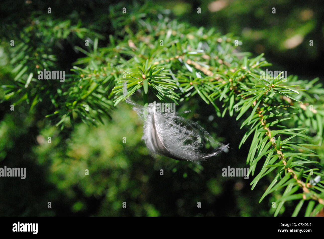 Feather caught in Yew Tree - Stock Image