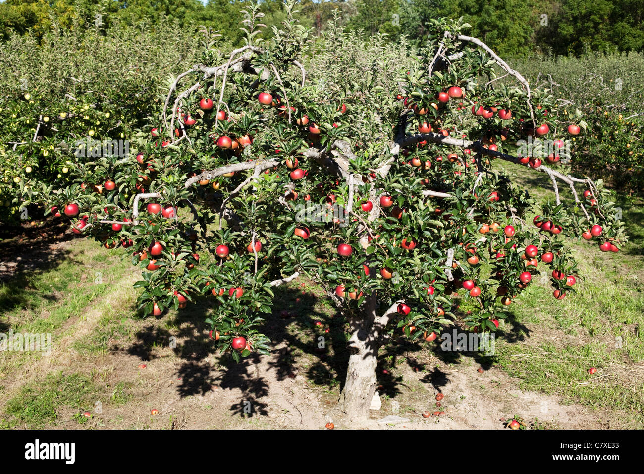Canada,Ontario, Vineland, apple tree in orchard with ripe apples - Stock Image