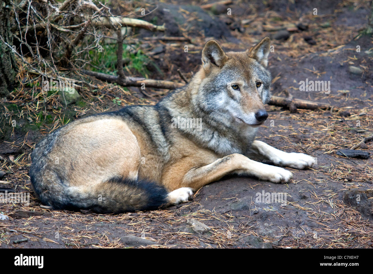 Wolf sitting down side view - photo#54