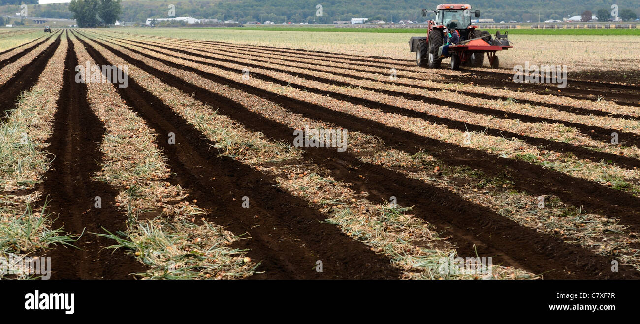 Panorama of foreign Mexican seasonal farm labourers starting work in morning at onion harvest time agriculture Holland - Stock Image