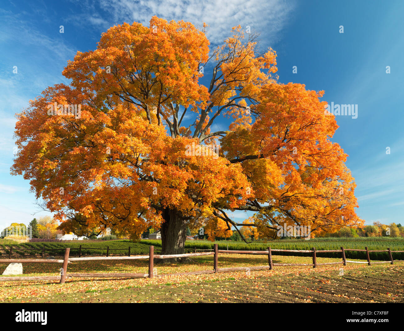 Canada,Ontario,Fonthill,the Comfort Maple, one of the oldest trees in Canada aged over 450 years - Stock Image