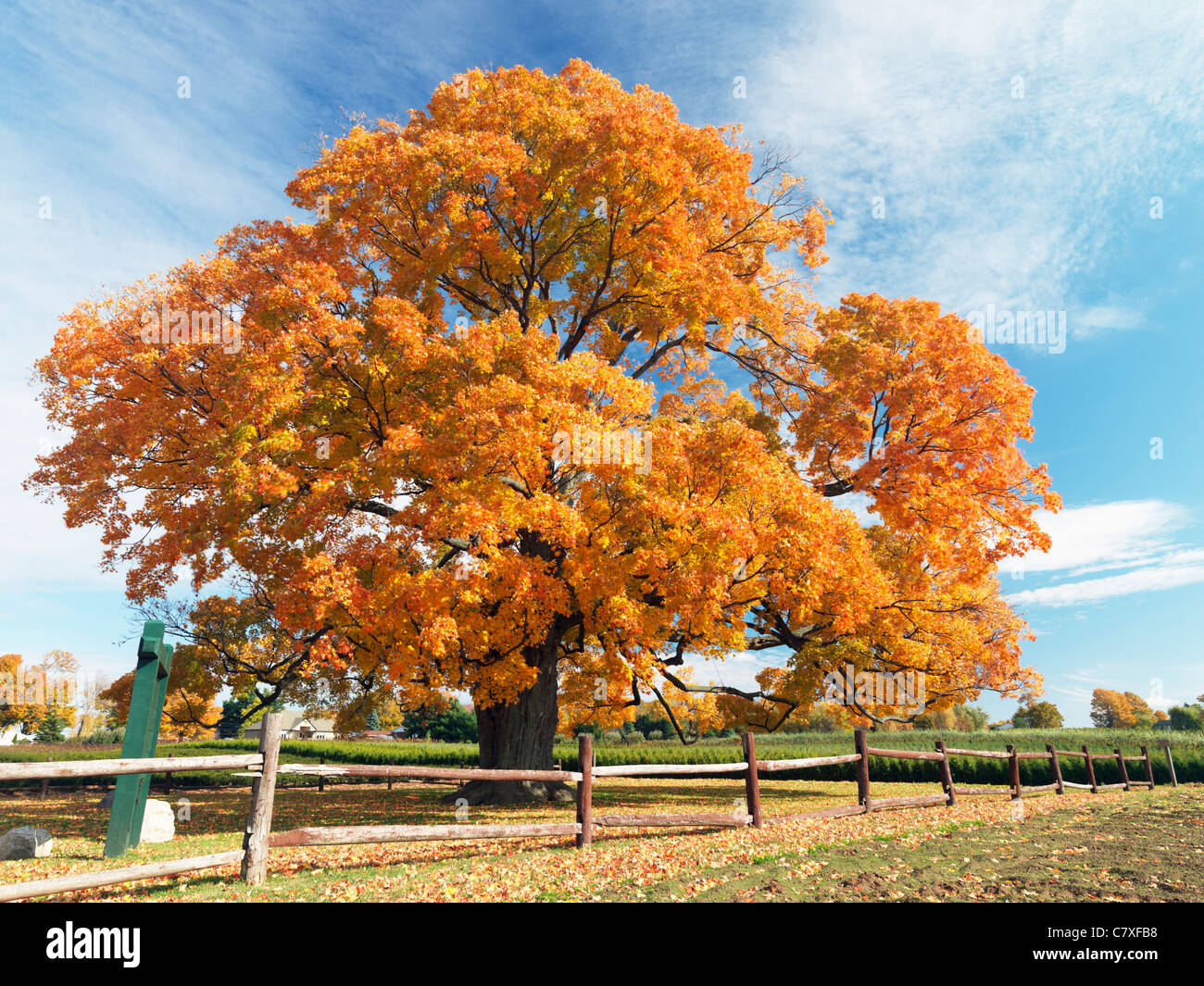 Canada,Ontario,Fonthill,the Comfort Maple, one of the oldest trees in Canada aged over 450 years Stock Photo