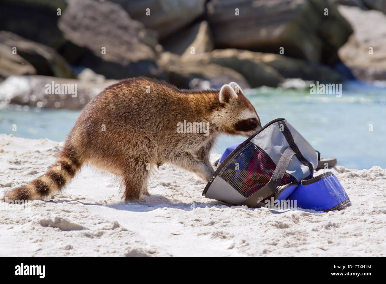 Young raccoon (Procyon lotor) scavenging at the Florida beach. - Stock Image