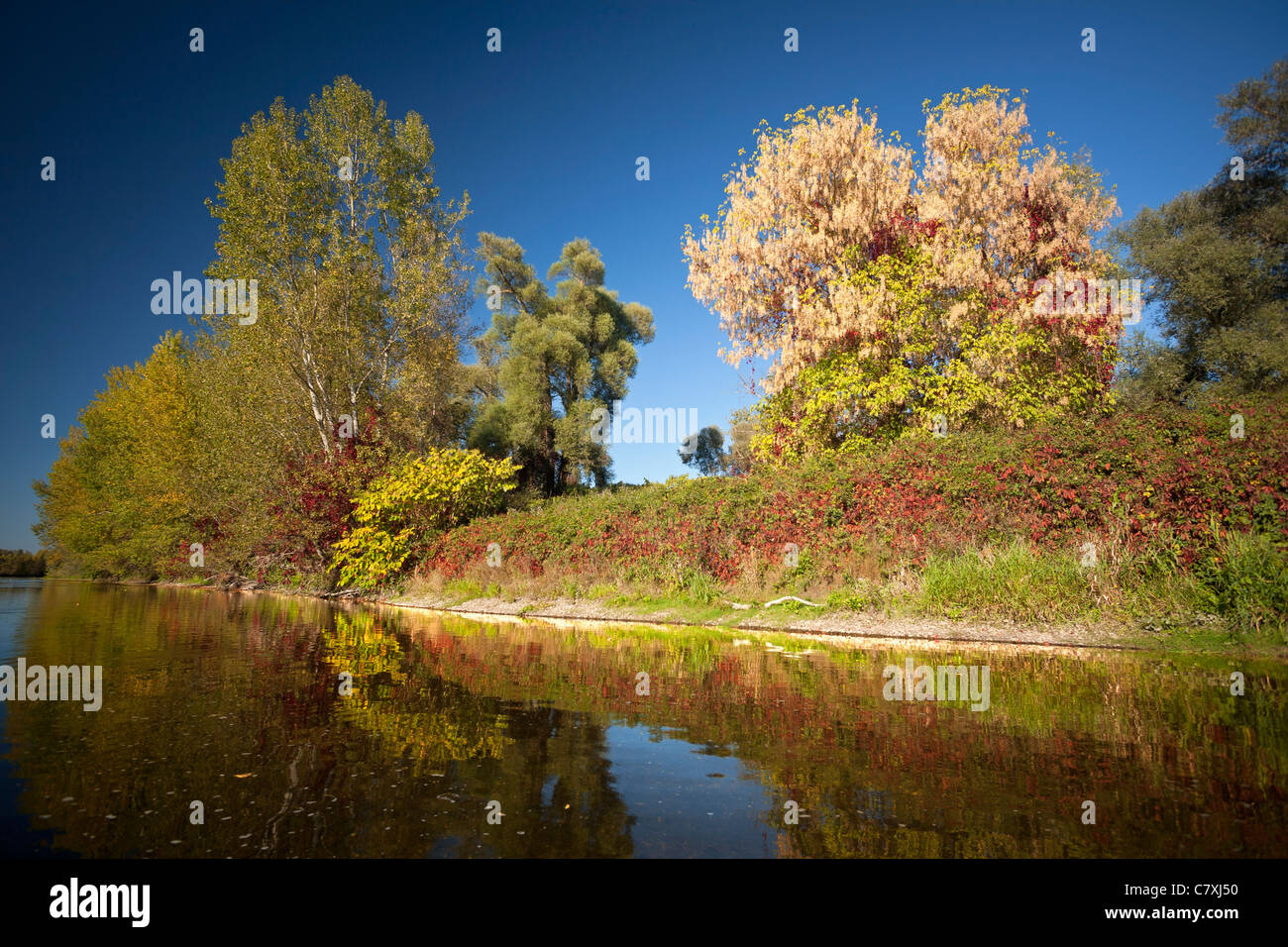 In Autumn, the riparian zone of the Allier river banks (France). On the right of the photograph one can see an Acer - Stock Image