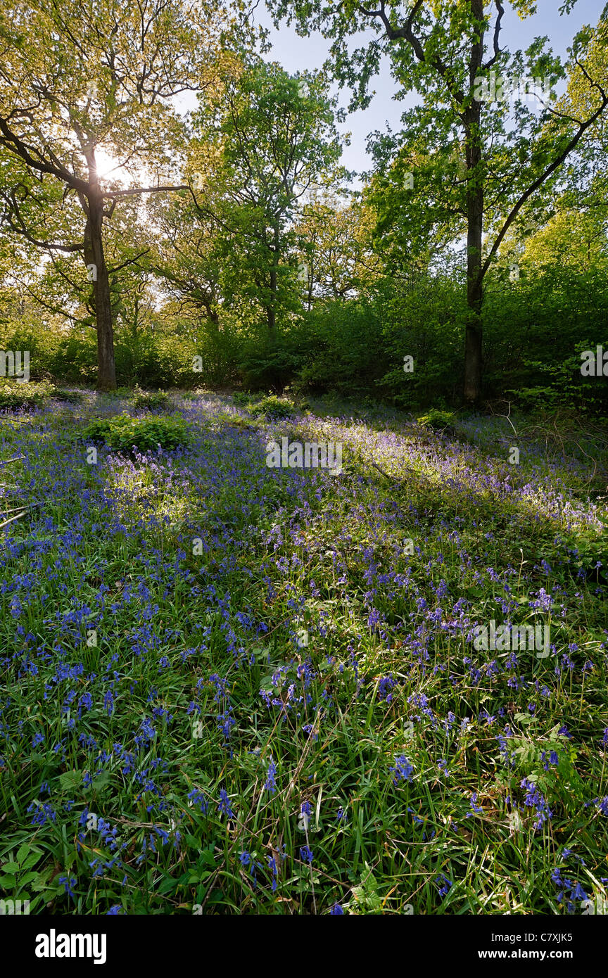 Oak woodland with bluebells and hazel coppice - Stock Image
