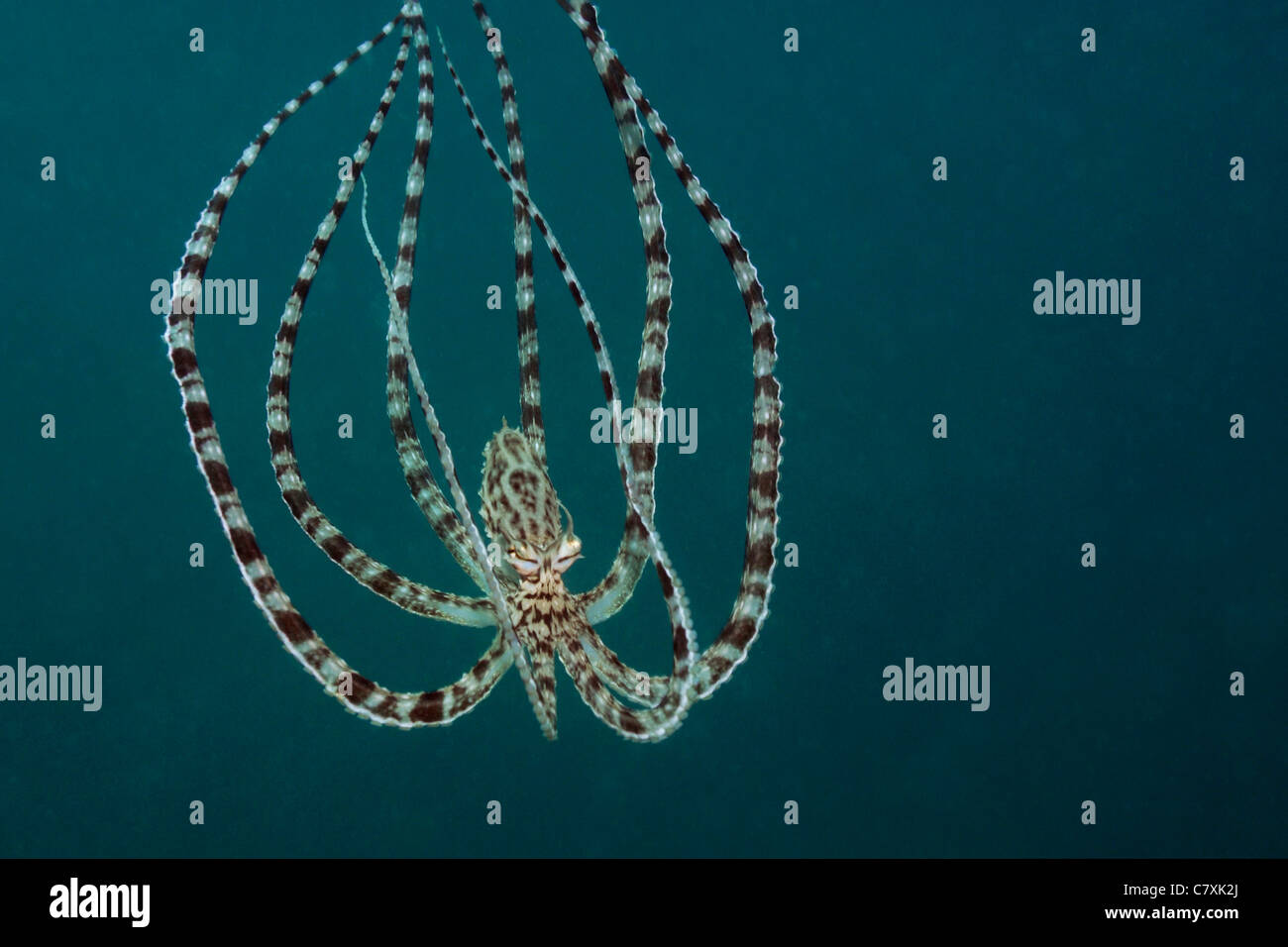 Mimic Octopus, Thaumoctopus mimicus, Lembeh Strait, Sulawesi, Indonesia - Stock Image