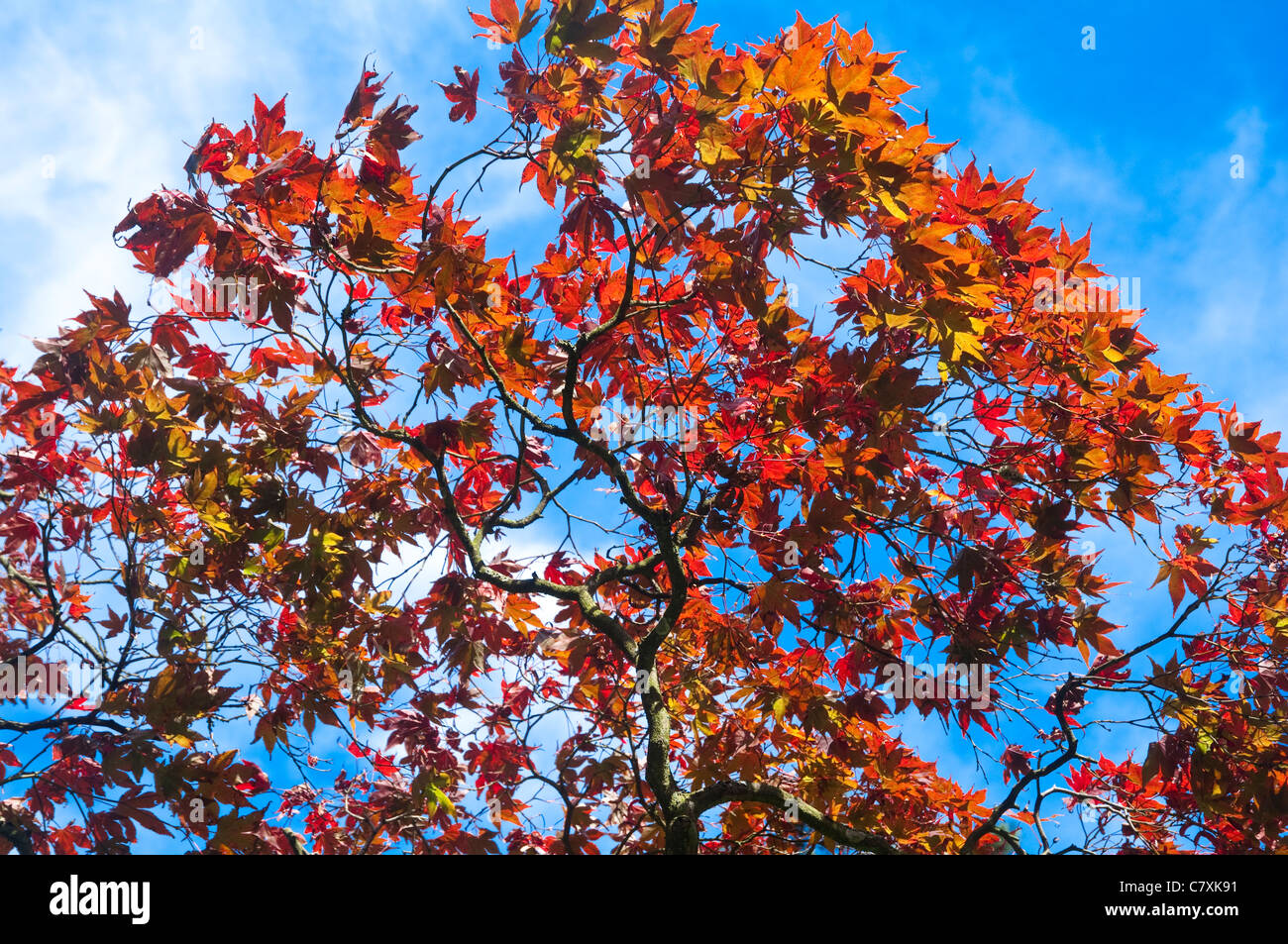 Autumn colour - orange and red  leaves of a Japanese Maple tree against a blue sky. UK. - Stock Image