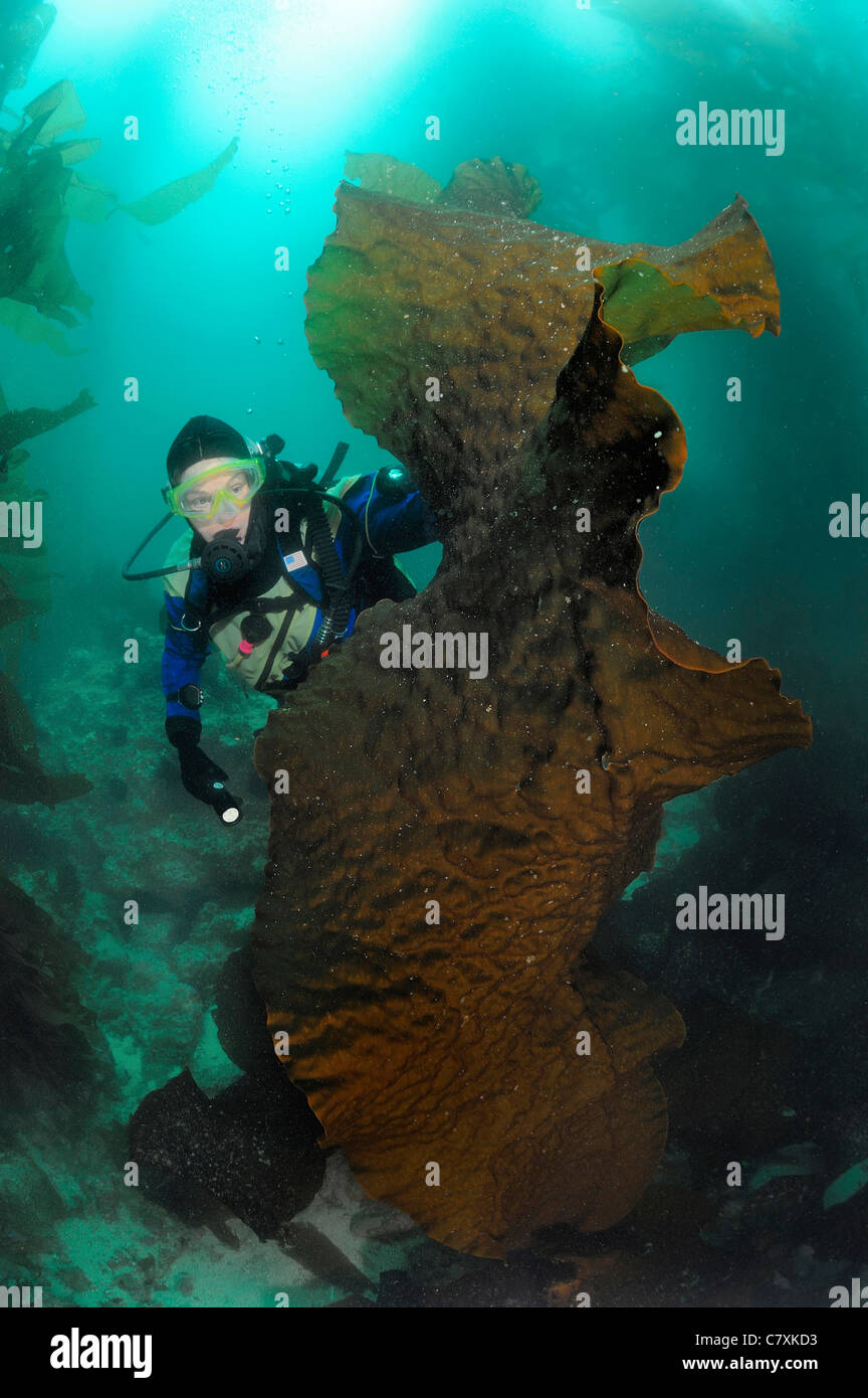 Scuba Diver and big Brown Algae, Macrocystis pyrifera, San Clemente Island, Channel Islands, USA, California Stock Photo