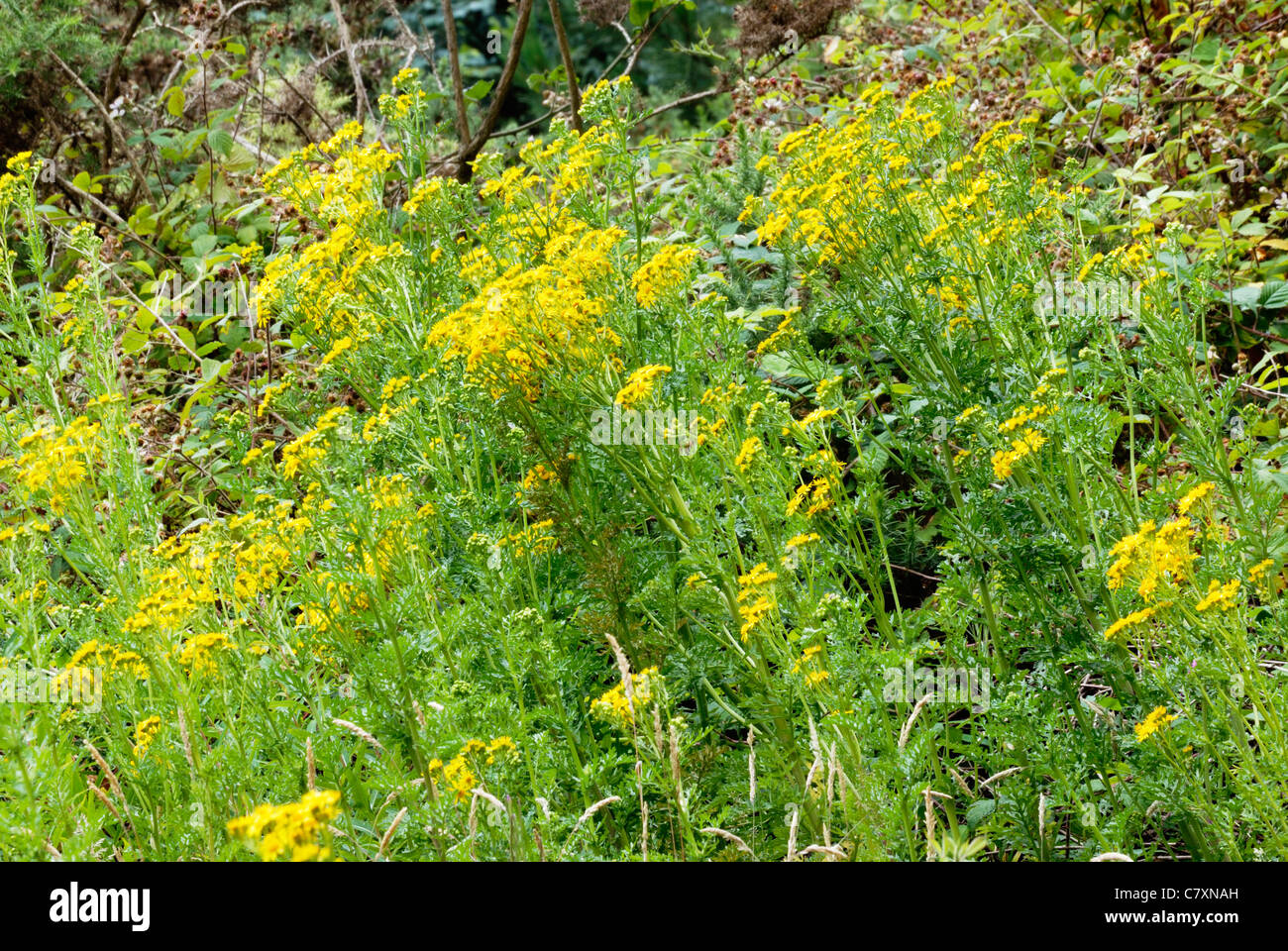 Senecio jacobaea yellow flower flowers poisonous plant plants stock senecio jacobaea ragwort flowers wales stock image mightylinksfo