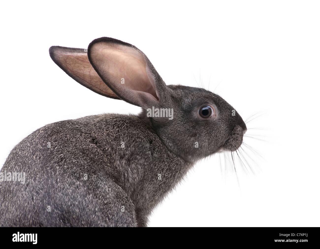 Rabbit farm animal closeup on white background - Stock Image