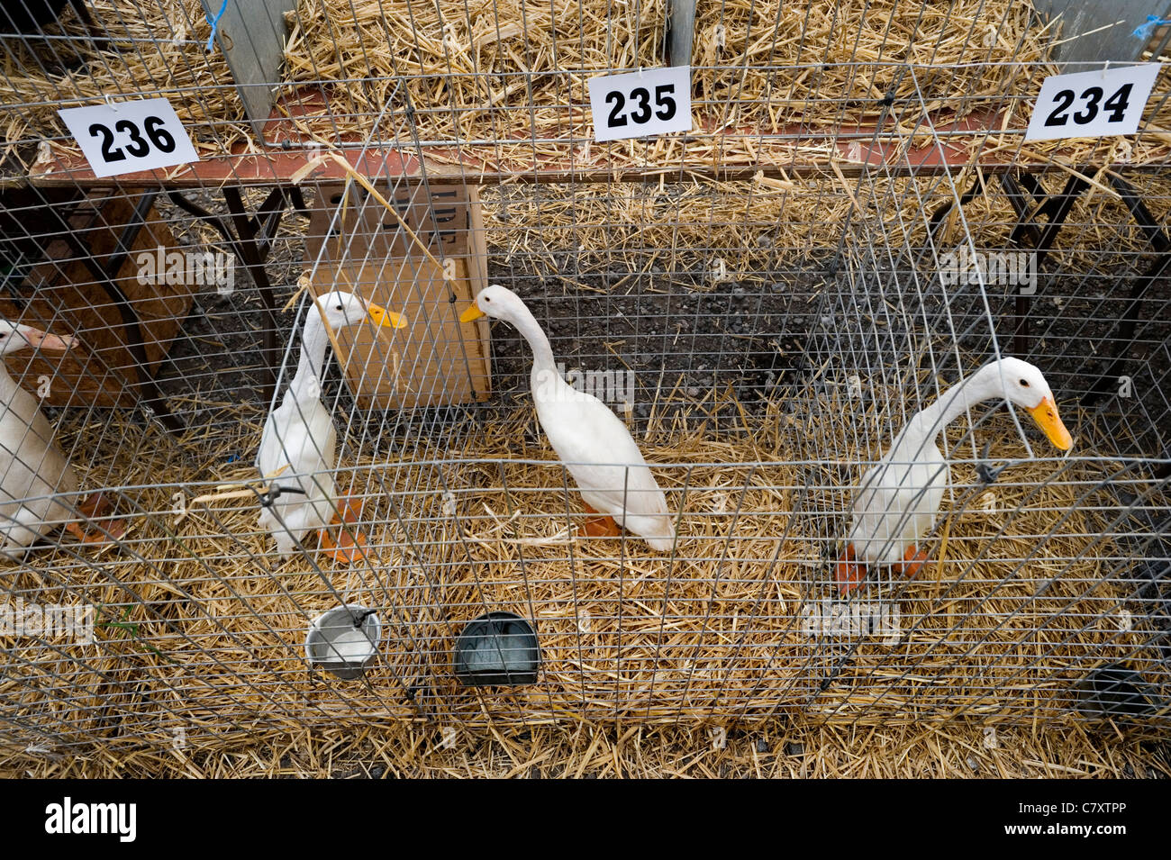 Aylesbury ducks at the Devon County Show, Wespoint, Exeter, Devon UK. - Stock Image
