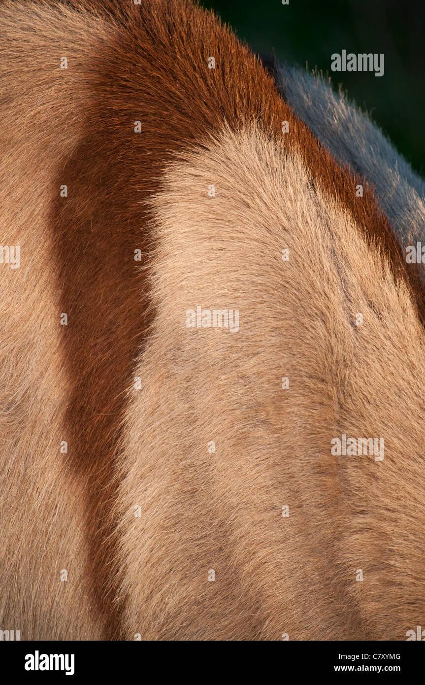 pelage d'un ane roux brown coat of a donkey - Stock Image