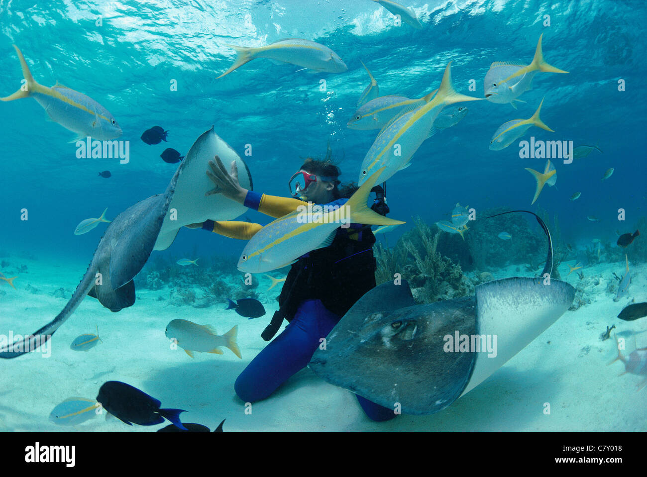 Diver interacts with Southern Stingrays (Dasyastis americana),'Stingray City', Bahamas - Caribbean Sea - Stock Image