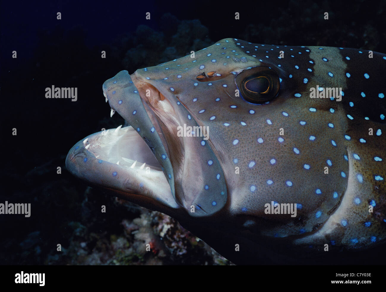 Dothead Rock Grouper (Cephalopholis microprion), Australia - Great Barrier Reef - Stock Image