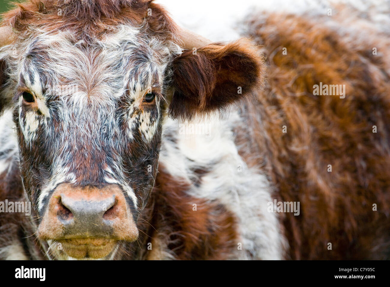 Long Horned Cow. - Stock Image