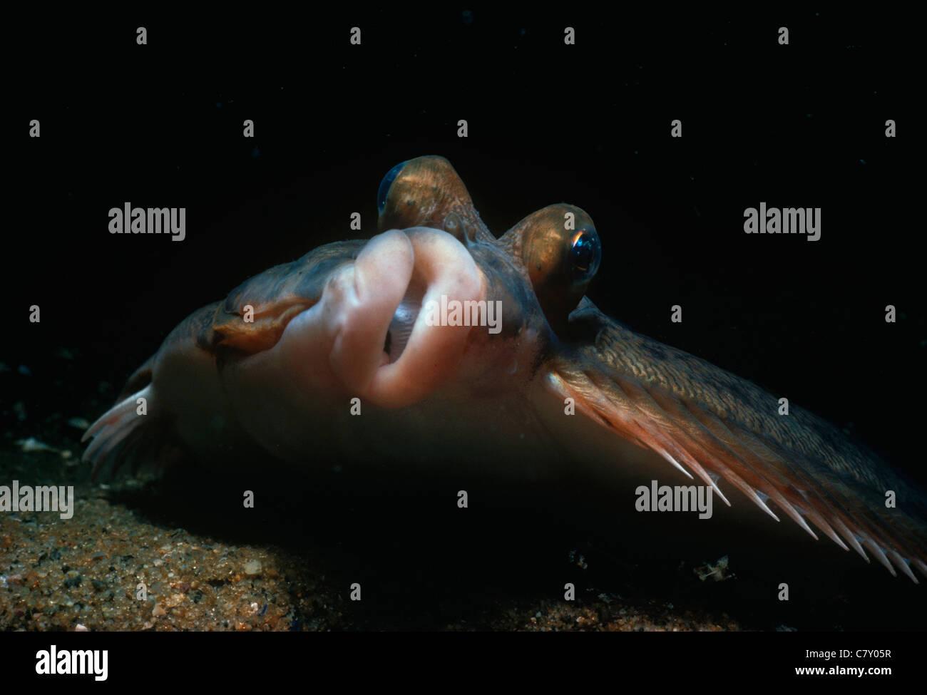 Face of a Blackback Flounder (Pleuronectes americanus). Gloucester, Massachusetts, USA - Atlantic Ocean - Stock Image